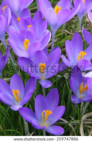 crocus is one of the first spring flowers can use as background stock photo © meinzahn