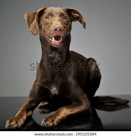 beautiful flying ears mixed breed dog relaxing in gray backgroun stock photo © vauvau