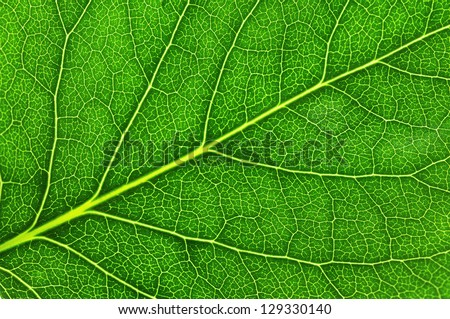 Green leaf. Macro photo of natural veined pattern as a creative background. Top view Stock photo © artjazz