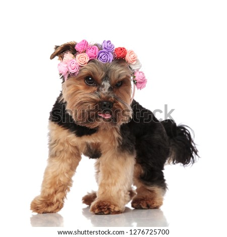 curious yorkshire terrier wearing flowers headband looks down to Stock photo © feedough