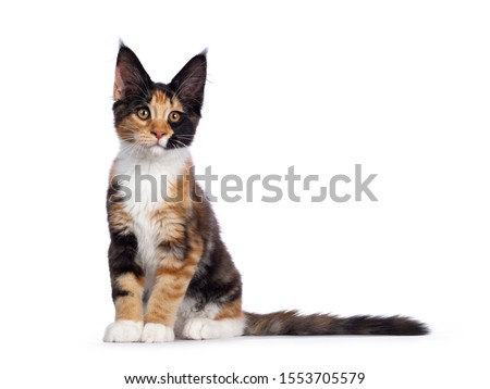 Cute black tabby tortie Maine Coon cat kitten isolated on white background  Stock photo © CatchyImages