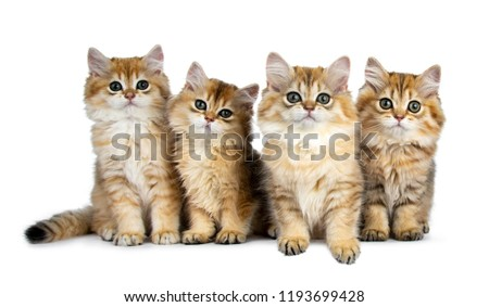 Four fluffy golden British Longhair cat kittens on white background Stock photo © CatchyImages