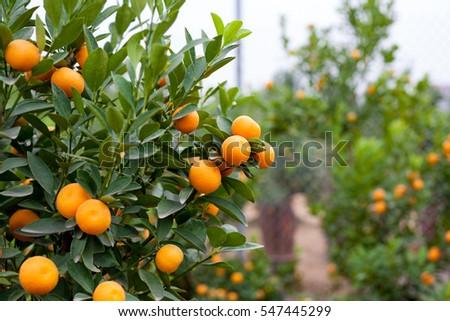 Közelkép vibráló narancs citrus gyümölcsök fa Stock fotó © galitskaya