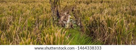 Grupo lado arroz campos bali bandeira Foto stock © galitskaya