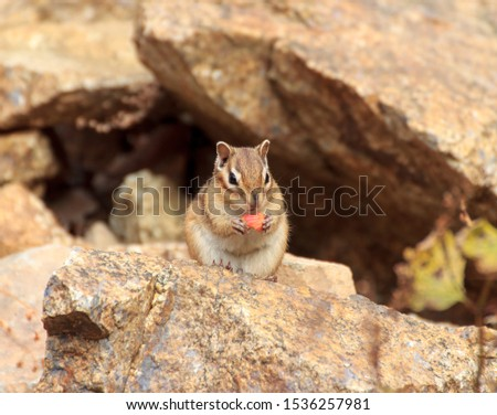 Wild Animal Chipmunk Stands Eating Filling up For Winter Hiberna Stock photo © cboswell