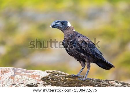 Raven Ethiopia Africa Zdjęcia stock © Artush