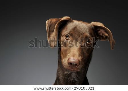 Stock photo: beautiful flying ears mixed breed dog portrait in gray backgroun