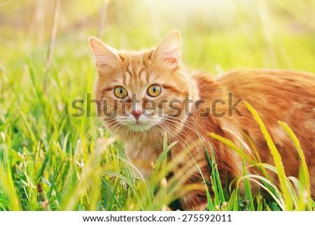 Chat herbe verte été belle rouge kitty Photo stock © Yatsenko