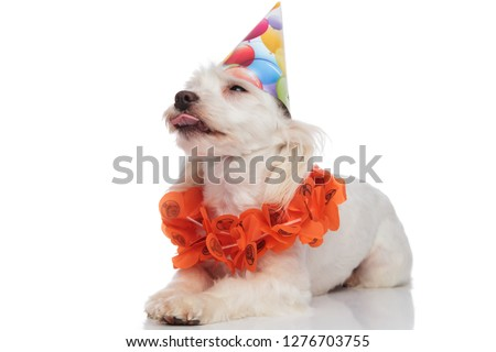 adorable bichon wearing garland and birthday hat lying and panti Stock photo © feedough