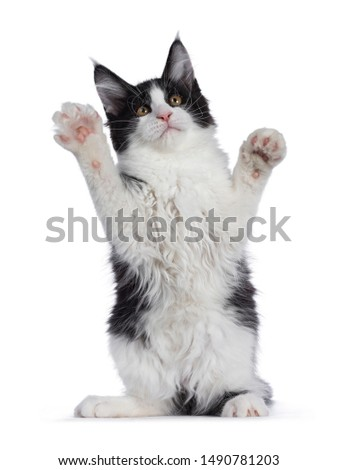 Sweet bicolor high white Maine Coon cat, isolated on white background Stock photo © CatchyImages
