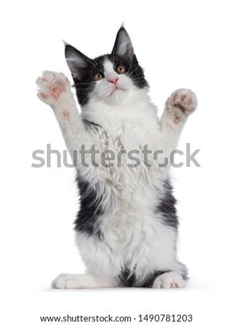 Sweet высокий белый Мэн кошки изолированный Сток-фото © CatchyImages