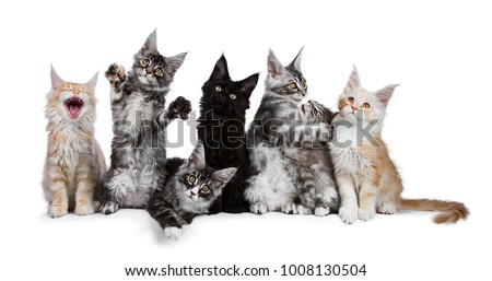 Stock photo: Row of 7 Maine Coon cat / kittens acting funny isolated on a white background