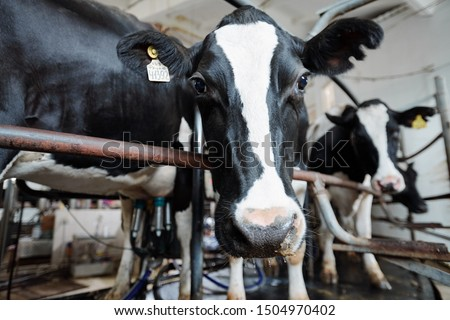Black-and-white muzzle of milk cow looking at you while standing behind fence Stock photo © pressmaster