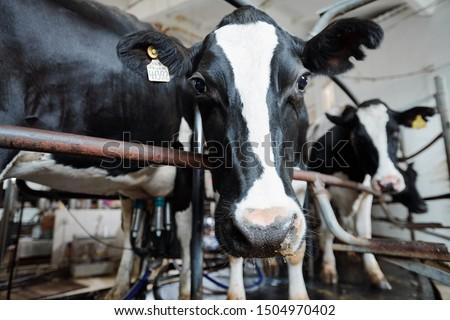 caseificio · bovini · farm · campo - foto d'archivio © pressmaster