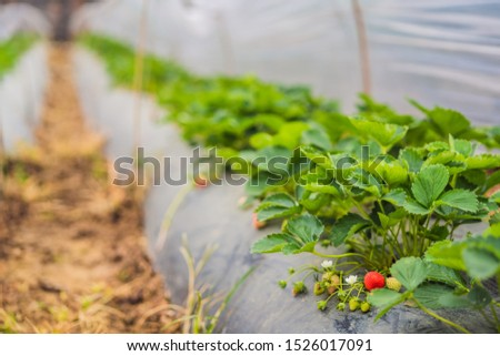 Strawberry plantation in Bali in the Bedugul area. Popular destination in tourism. Attraction of Bal Stock photo © galitskaya