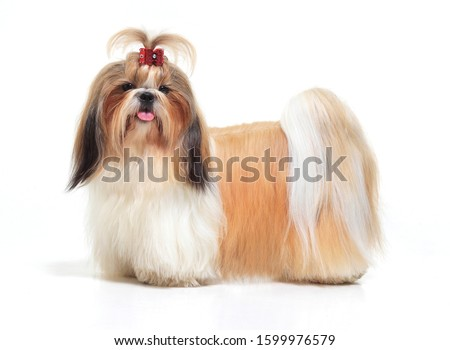 Tibetan Lhasa Apso Small Canine Dog Breed Furry Animal Creature Stock photo © cboswell