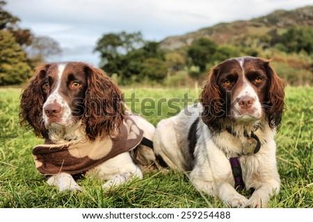 two pretty liver and white working type english springer spaniel Stock photo © chrisga