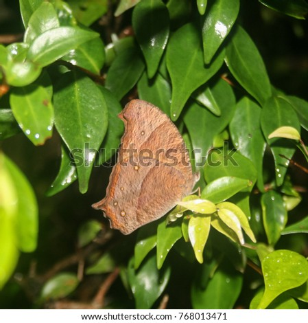 Evening Brown butterfly (Melanitis leda) resting amongst leaves stock photo © davemontreuil