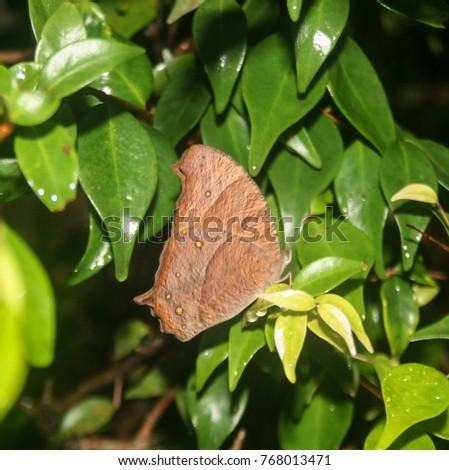 Evening Brown butterfly (Melanitis leda) resting amongst leaves Stock photo © davemontreuil