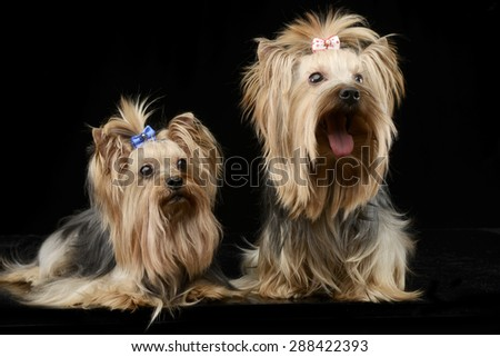 two beautiful yorkshire terrieres sitting in a shiny black studi stock photo © vauvau