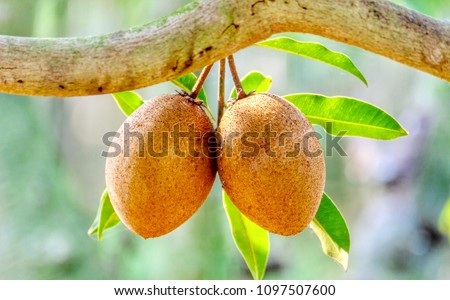 Close up fresh Sapodilla, sapodilla plum or chiko fruit on tree with green leave Stock photo © galitskaya