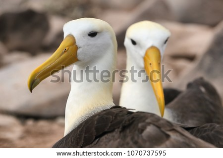 Animals on Galapagos - Galapagos Albratross aka Waved albatrosses Stock photo © Maridav