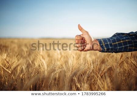 Mano agricultor calidad granos de trigo Foto stock © Kzenon