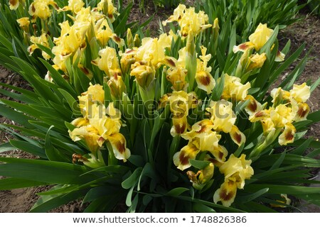 Gelb Iris Blume Stock foto © Mps197