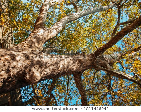 Sycamore tree trunk Stock photo © bobkeenan