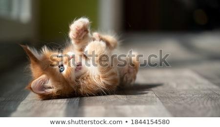 back of  kitten Stock photo © cynoclub