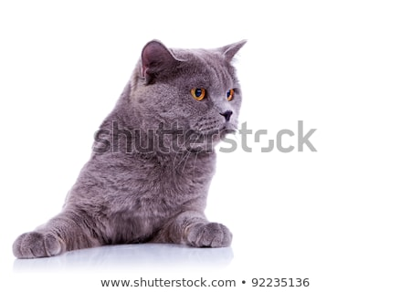 curious big english cat  stock photo © feedough