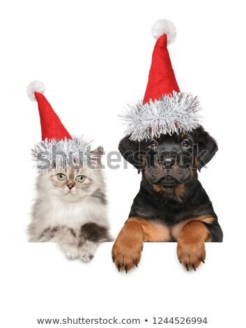 rottweiler · macska · portré · fajtiszta · legjobb · barát · fekete · macska - stock fotó © cynoclub