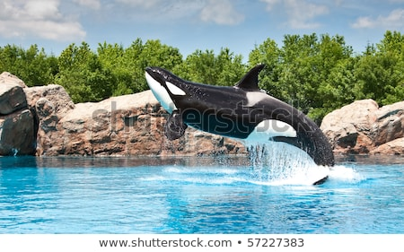 Spinning KIller Whales Stock photo © xochicalco