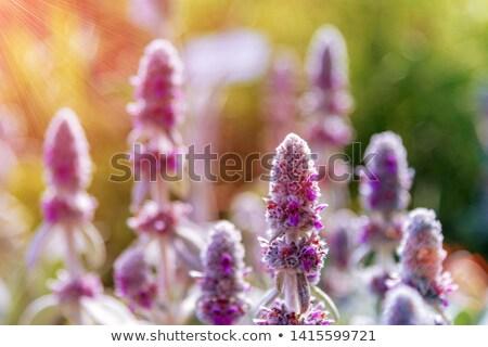 Oído flores hermosa jardín de hierbas plantas nombre Foto stock © StephanieFrey