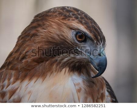 retrato · isolado · branco · Águia · fundo · pássaro - foto stock © samsem
