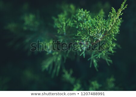 Foliage of Japanese Thuja Stock photo © newt96
