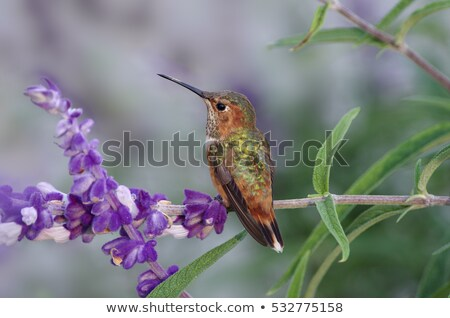 Hummingbird on a green out of focus background Stock photo © Roka