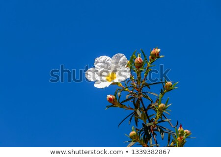 Rockroses and blue  sky Stock photo © inaquim
