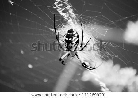orb weaver spider spinning a web stock photo © rhamm