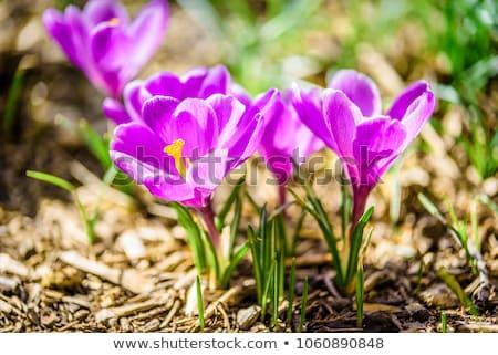 açafrão · flor · ensolarado · prado · água - foto stock © arenacreative
