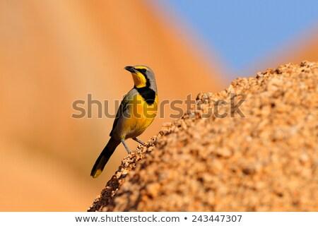 Bokmakierie (Telophorus zeylonus) Stock photo © dirkr