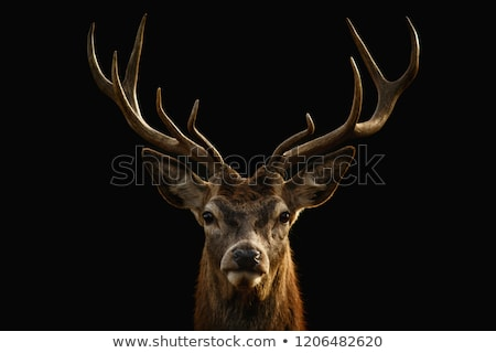 young whitetail deer buck stock photo © brm1949