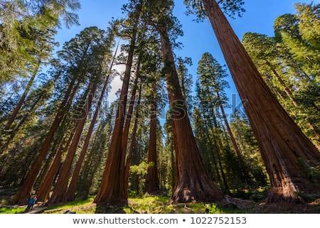 árbol · camino · secoya · parque · forestales · naturaleza - foto stock © weltreisendertj