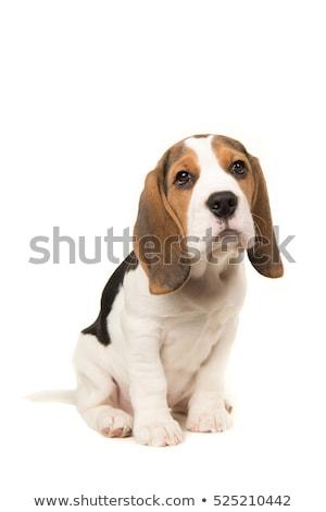 kopó · kutyakölyök · izolált · fehér · kutya · háttér - stock fotó © Nejron