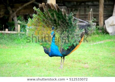 孔雀 尾 羽毛 自然 緑 青 ストックフォト © Nejron
