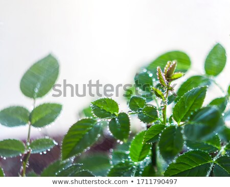 Rose sprouts grow on bushes planted in garden Stock photo © nalinratphi