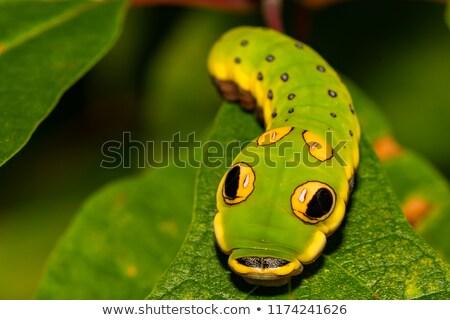 Spicebush Swallowtail Papilio Troilus Stock photo © hlehnerer