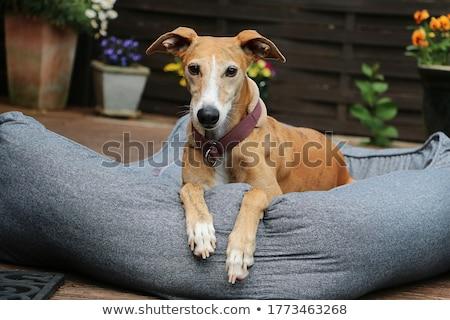 画像 · 美しい · 犬 · 白 · 自然 · 立って - ストックフォト © capturelight