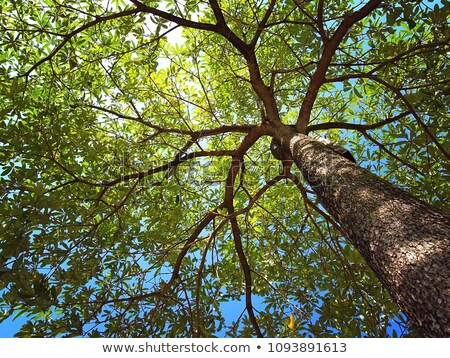 Evergreen oak in forest Stock photo © smithore