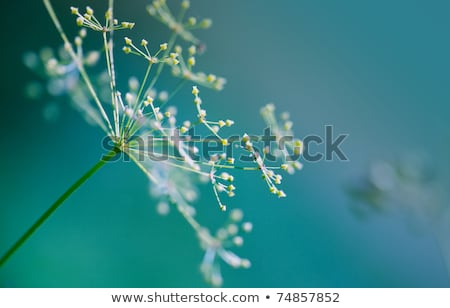 Close-up of dill flower umbels in the field Stock photo © Moravska